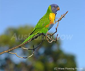 色合いが美しい野鳥レインボーロリキート