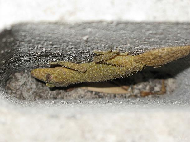 ブロックの穴に隠れ棲む木の葉のようなヤモリ「サザンリーフテールゲッコー」 2010年8月20日