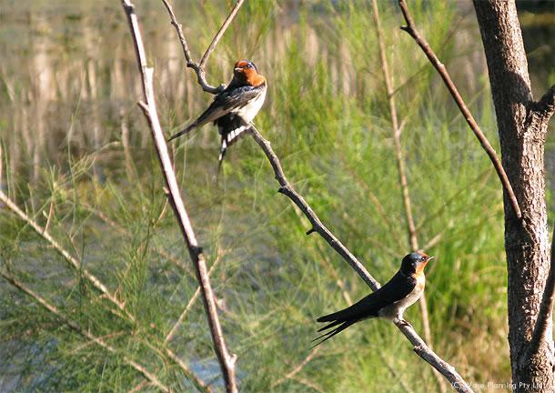 シドニー郊外に広がる湿原の鳥達 2010年9月21日