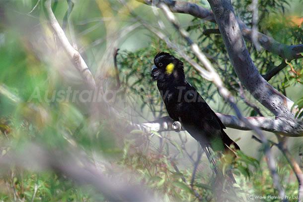 黒オウム(イエローテールド・ブラックコッカトゥー) 2010年9月27日