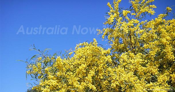 オーストラリア国花でもあるゴールデンワトル