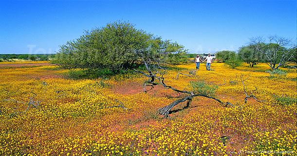 西オーストラリアのワイルドフラワー畑