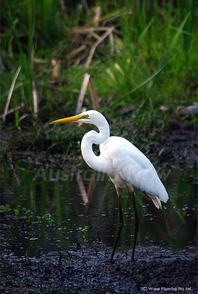 湿原に舞い降りたグレート・イグレット(ダイサギ) 2010年10月14日