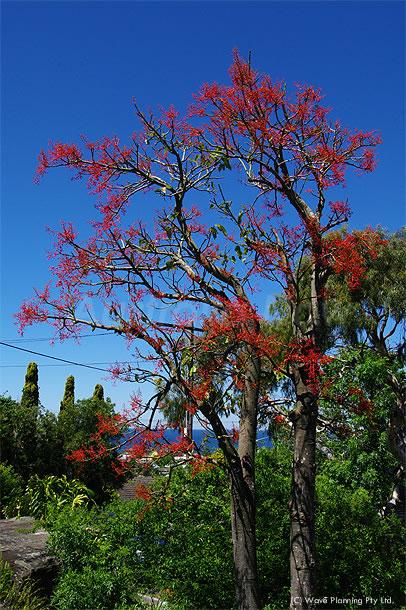 もうすぐ満開!真っ赤に燃えるイラワラフレームツリー 2010年10月18日