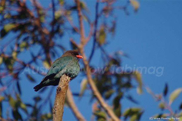 青空にとけ込む光沢ある羽が美しいダラーバード(ブッポウソウ) 2010年10月26日