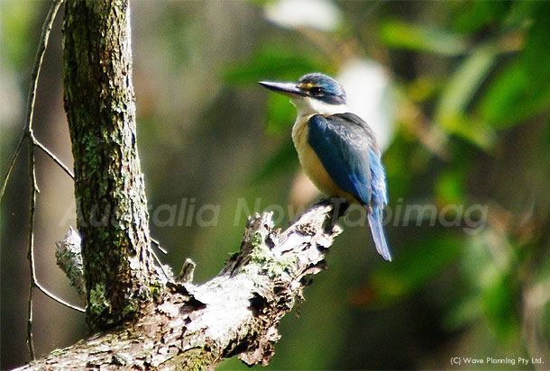 青い羽が美しいアズール・キングフィッシャー(カワセミ) 2010年11月9日