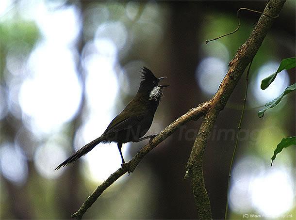 必死で雌を呼ぶ、イースタン・ウィップバード 2010年11月11日