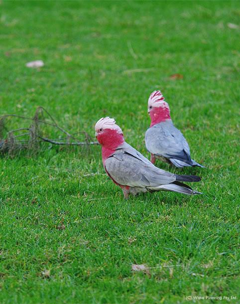 オスとメスを目で見分けられるモモイロインコ 2010年11月25日