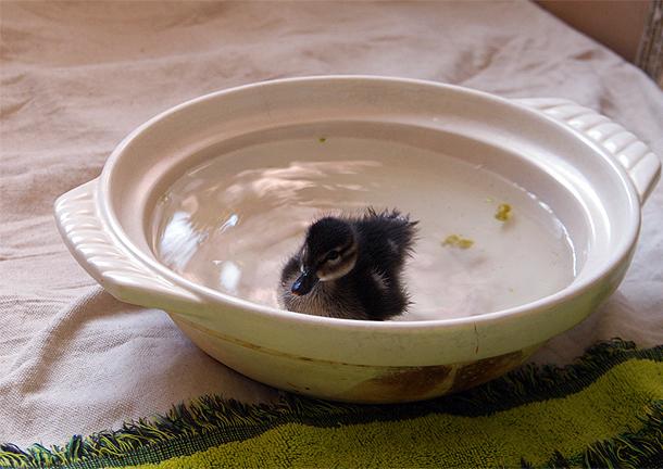 鴨鍋!? 土鍋の中で泳ぐカモの雛、ヒヨちゃん 2010年12月20日