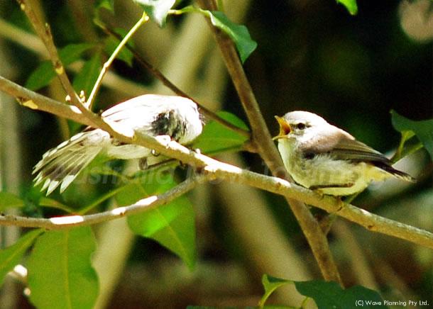 大きな口でア~ン!センニョムシクイの雛もうすぐ巣立ち 2011年1月4日