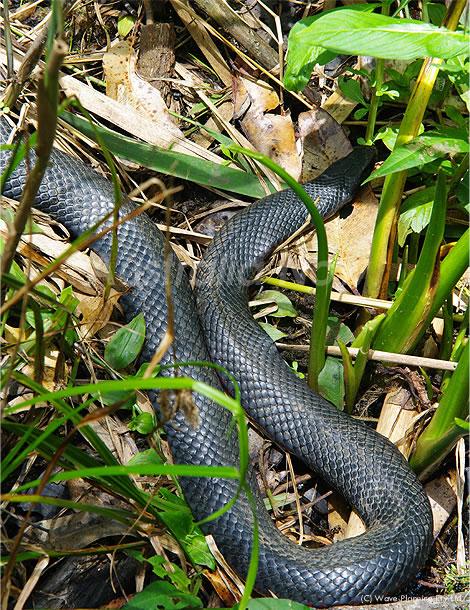 猛毒を持つ蛇、レッドベリードブラックスネーク 2011年1月6日