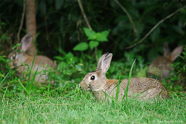 今年の干支、3匹のウサギ親子登場! 2011年1月19日