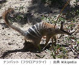 絶滅危惧種のナンバット(フクロアリクイ)