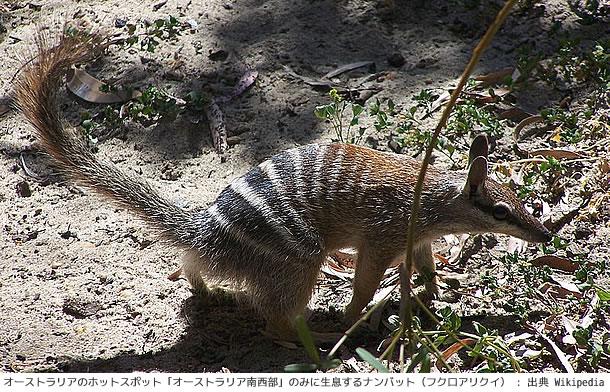 ホットスポット「オーストラリア南西部」のみに生息するナンバット(フクロアリクイ)