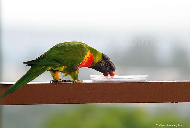 野鳥だって喉がカラカラ! シドニーの熱波続く 2011年2月5日