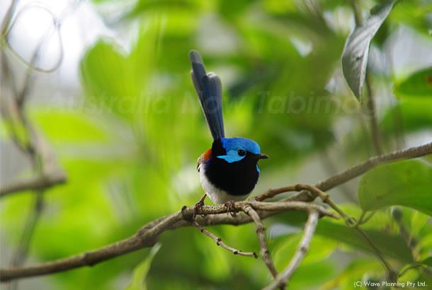 幸せの青い鳥、第二弾! バリゲイティッド・フェアリーレン 2011年2月18日