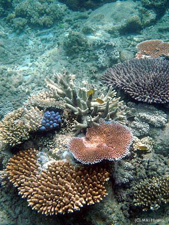 ウィットサンデーエリアのオーフィアス島周辺撮影したサンゴ礁