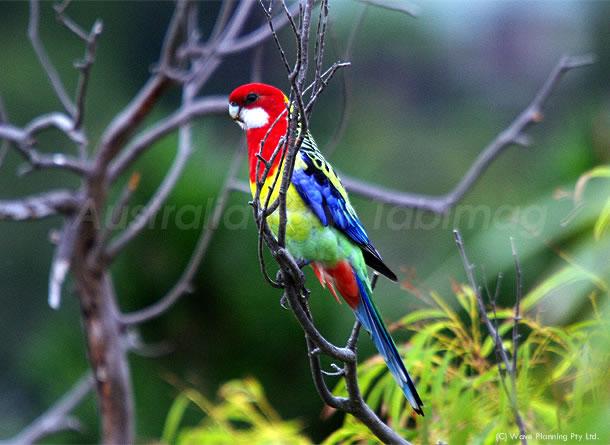 鮮やか!カラフルで美しい羽を持つイースタンロゼラ 2011年3月9日