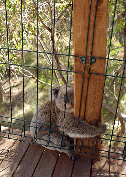 オーストラリアの動物たちより、愛を込めて!爆睡コアラ 2011年3月14日