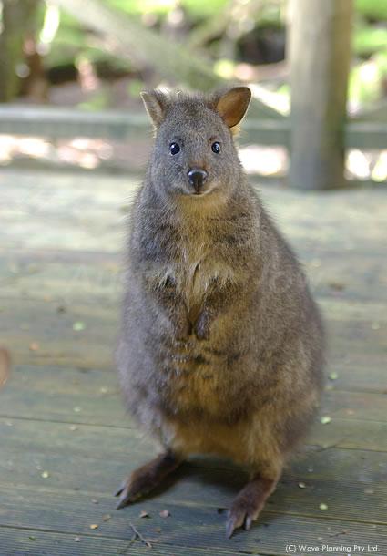 オーストラリアの動物たちより、愛を込めて!窓の外でニッコリ♪パディメロン