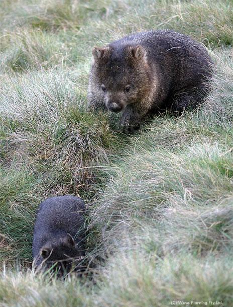 オーストラリアの動物たちより、愛を込めて!ウォンバット親子の追いかけっこ