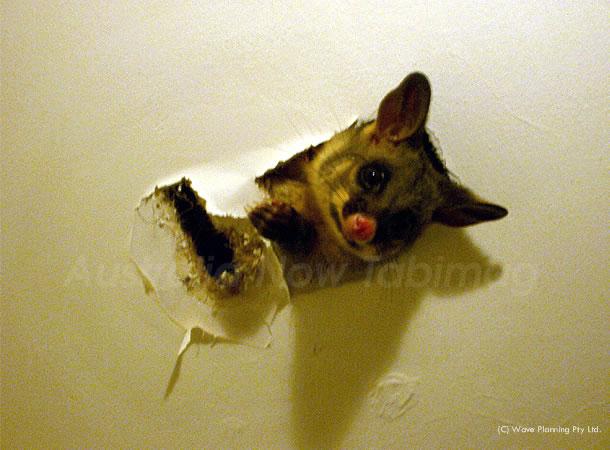 オーストラリアの動物たちより、愛を込めて!天井の穴からこんにちは?ポッサム