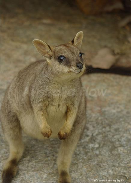 オーストラリアの動物たち、Happy ♪ Happy ♪ マリーバロックワラビー