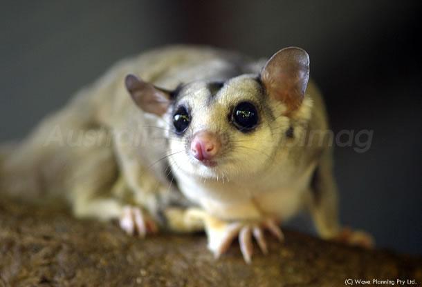 オーストラリアの動物たち、クリクリした目がかわいい!フクロモモンガ