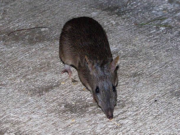 オーストラリアの動物たち、ポケモンのキャラにいそう?バンディクート
