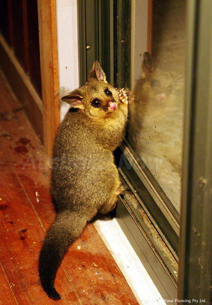 オーストラリアの動物たち、見ちゃイヤイヤ!窓にへばりつくポッサム