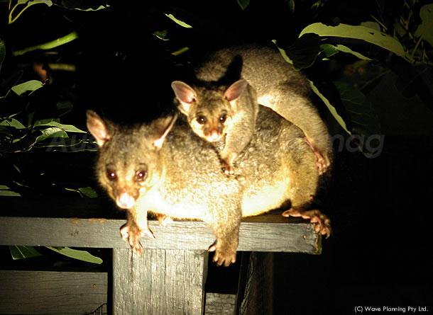 オーストラリアの動物たち、背中におんぶしてやって来たポッサム親子