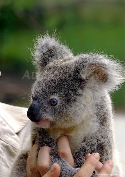 オーストラリアの動物たち、世界唯一!? 青い目のコアラ