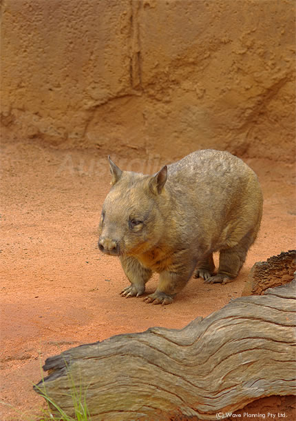 オーストラリアの動物たち、豚みたい?ヘアリーノーズド・ウォンバット