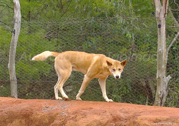 オーストラリアの動物たち、純血種の絶滅が危惧される太古の狼ディンゴ