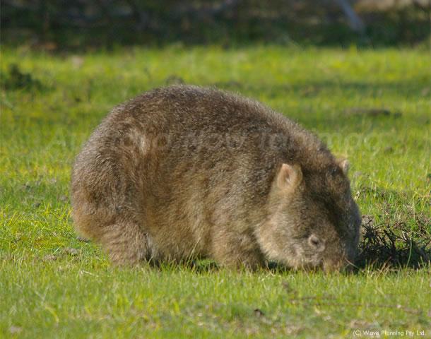 オーストラリアの動物たち、モグモグモグ…ひたすら食べ続けるウォンバット
