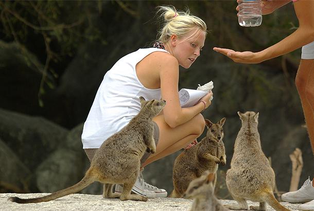 オーストラリアの動物たち、ワラワラと集まってきたロックワラビー