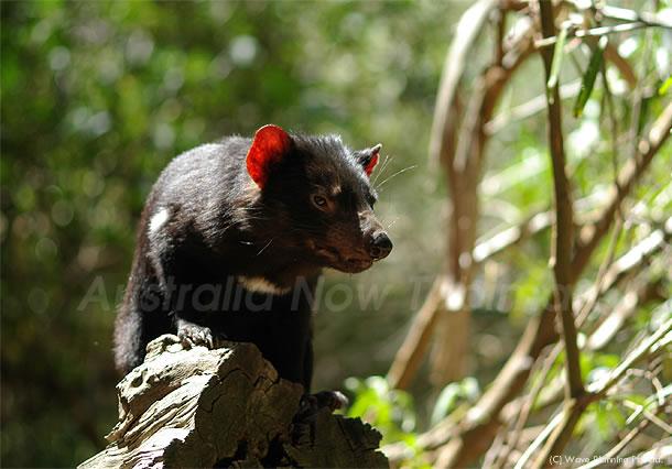 オーストラリアの動物たち、かわいい顔した悪魔タスマニアデビル