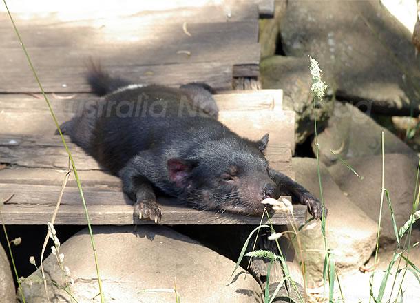 オーストラリアの動物たち、のべ~っと伸びてお昼寝中のタスマニアデビル