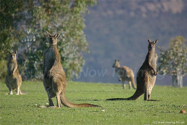 オーストラリアの動物たち、人間よりカンガルーが多く住む村