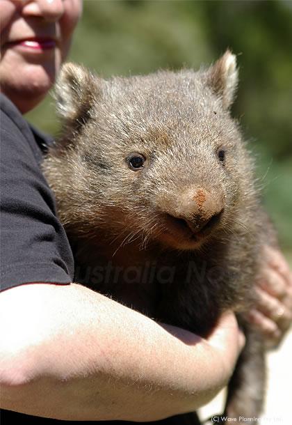 オーストラリアの動物たち、腕に抱かれてうっとり♪ ウォンバット