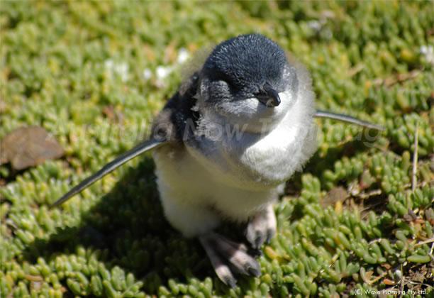 オーストラリアの動物たち、世界で一番小さなペンギン
