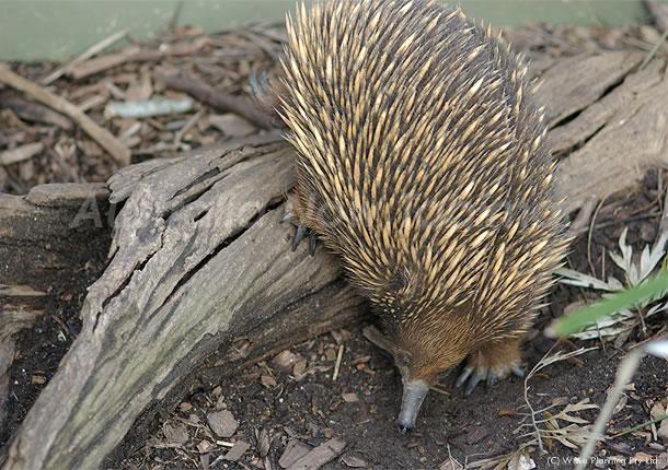 オーストラリアの動物たち、地球でたった2タイプだけ生き残った単孔類エキドナ