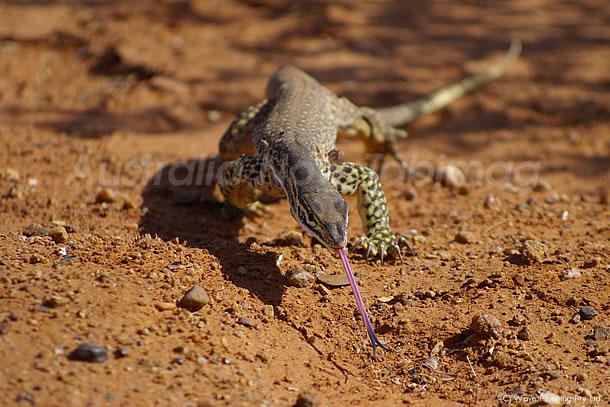 オーストラリアの動物たち、舌を出しながら悠々と歩くサンドゴアナ