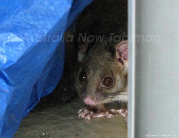 オーストラリアの野生動物: 影に隠れていたのは…小さなリングテール 2011年6月3日