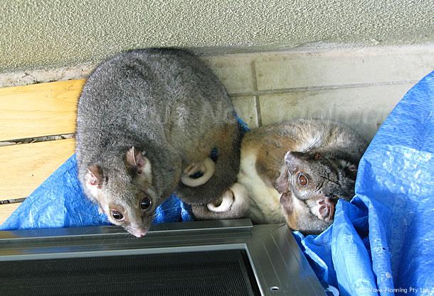 オーストラリアの野生動物:隠れていたリングテイルポッサムは2匹 2011年6月3日