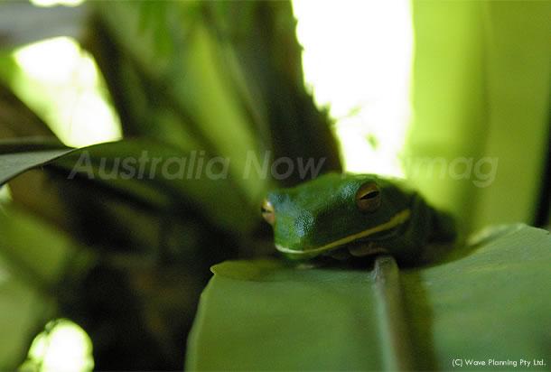 オーストラリアの動物: 10cmを超える大きなクツワアメガエル 2011年6月6日