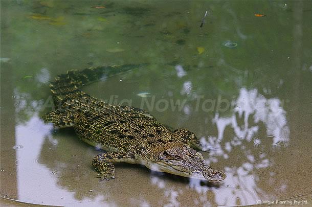 オーストラリアの野生動物:人食いワニ、ソルトウォータークロコダイル 2011年6月15日