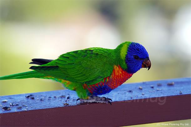 虹色の羽が美しい!レインボーロリキートの雛 2011年7月12日