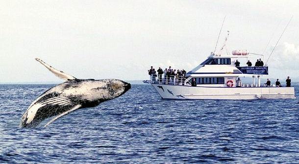 シドニーでホエールウォッチング、クジラを見に行こう!