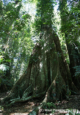 太古の森そのままの姿が見られるゴンドワナ多雨林